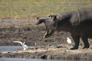 Un hipopótamo muestra sus fauces a un tímido pajarillo
