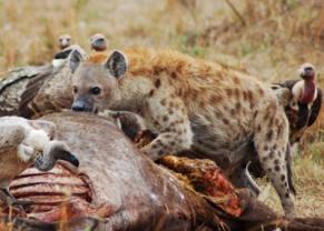 Una hiena devora un cadáver con varias alimañas