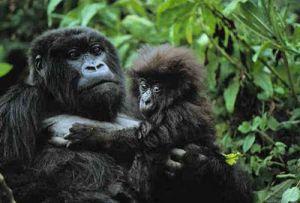 Un gorila bebé se aferra a su madre en la jungla