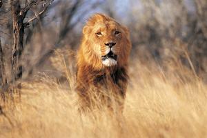 Un ejemplar de león en una foto de estampa
