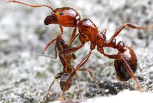 Un par de bellos ejemplares de hormigas argentinas