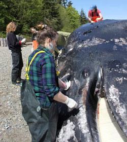 Unos científicos toman muestras del cetáceo