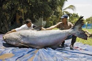 Dos tipos se fotografían con un pez gato del Mekong