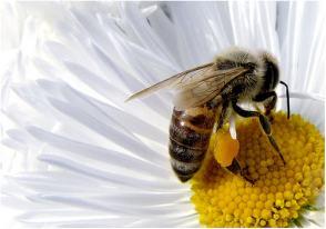 Una abeja, en pleno proceso de polinización