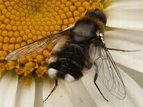 Un insecto de la familia de la bombyliidae