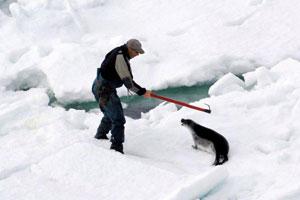 Un cazador se emplea sin piedad ante una foca