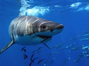 Un contundente ejemplar de tiburón blanco