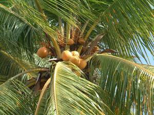 El coco es la esencia del Akoho sy Voanio