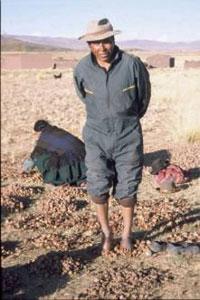 Un campesino prepara al sol los chuños