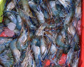 Un surtido de camarones azules, propios de China