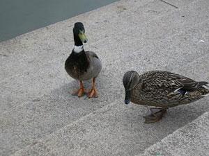 Un par de patos pasean en un parque