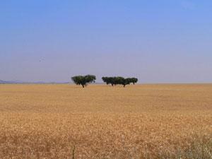 Los campos de trigo son imagen típica de la región