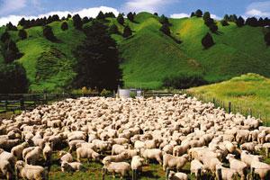 Las ovejas aparecen por todos los rincones del país