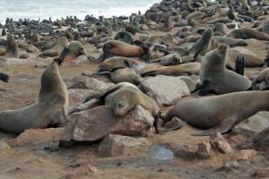 Miles de focas se agolpan y apestan en Cape Cross