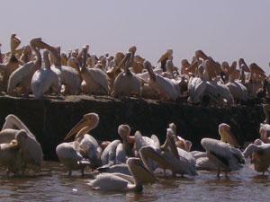 Los pelícanos son los reyes en Oiseaux du Djoudj