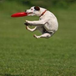 Un perro caza acrobáticamente un disco de un salto