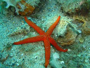 Una estrella de mar descansa en el fondo del Mar de Liguria