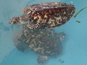 Unas tortugas en cautividad en la Fundación Científica