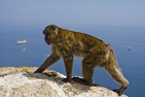 Un macaco gibraltareño pasea a sus anchas